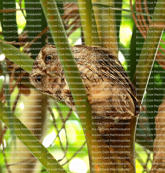 Eastern Screech-Owl trying to sleep in the daytime looks down from it's safe spot in a small palm tree in Fort Lauderdale, Florida, USA.