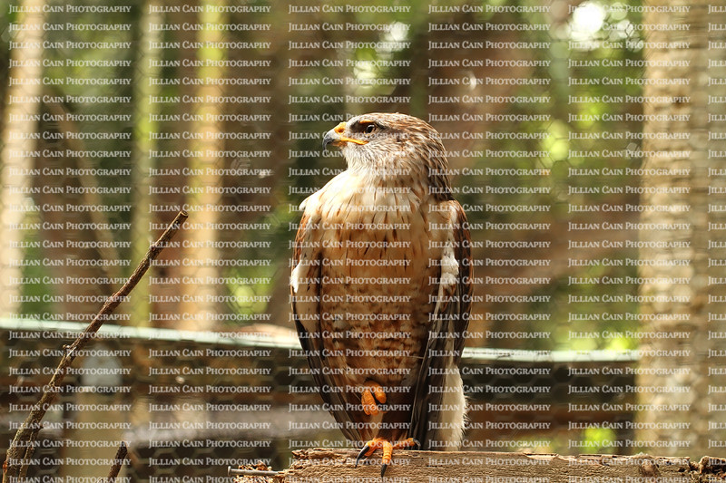Permanently injured Ferruginous Hawk stands proud on one foot in it's cage