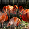 A colony of pink flamingos huddling together