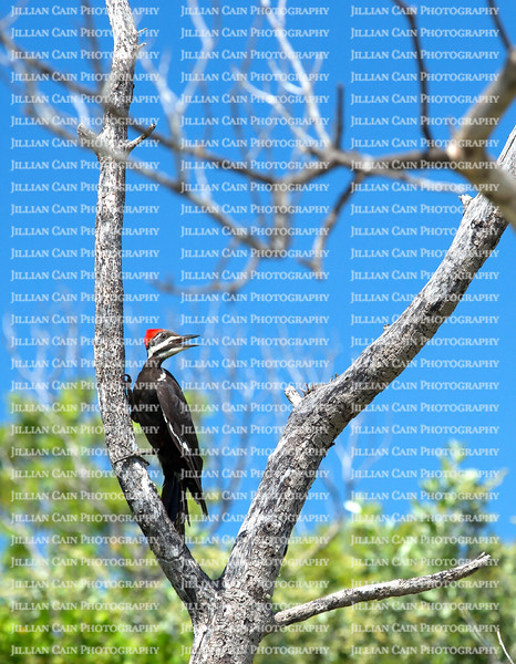 Female pileated woodpecker searching for insects on a large dead tree