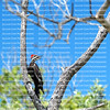 Female pileated woodpecker searching for insects on a large dead tree in Fort Myers Beach.