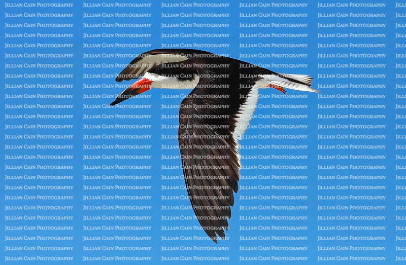 Black skimmer bird gliding against blue skies in Fort Myers Beach, Florida, USA.
