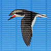 Black skimmer bird gliding against blue skies in Fort Myers Beach, Florida, USA.