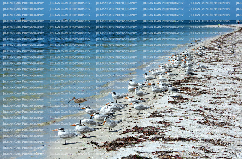With their bright orange bills the Royal Terns share the shoreline with marbled godwits and laughing gulls on Estero Island in Fort Myers Beach, Florida, USA.