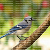 Beautiful blue jay bird with its head tilted to one side, looks down.  The blue jay is native to North America and is one of the loudest, fearless and most colorful birds in back yards.