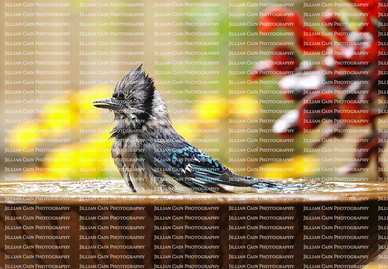 Wet blue jay sitting, splashing and shaking in a colorful backyard garden birdbath.