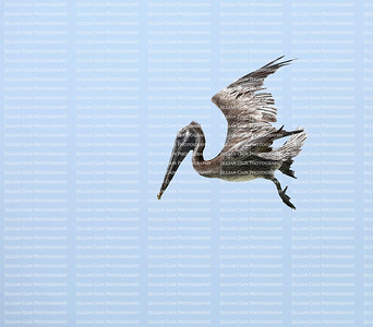Spotting it's prey from high above the Brown Pelican gets ready to dive for its fish dinner.