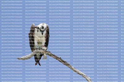 osprey focused on its fish dinner