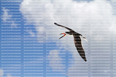 Black skimmer bird flying high with white clouds in the background