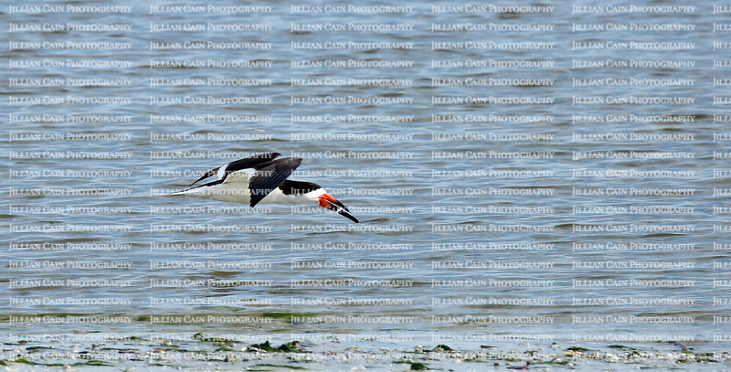 With dinner in it's sharp bill the Black Skimmer fly low at the top of the surf.