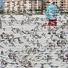 Startled by beach walkers, a flock of sanderlings birds take flight.