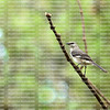 Northern mockingbird on the lookout for predators as his mate feeds the new hatchlings.