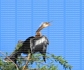 Anhinga perched on a tall tree looks looking upwards on a clear blue sky day.