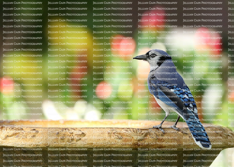 Beautiful blue jay bird getting ready to take a drink from a fountain.  The blue jay is native to North America and is one of the loudest and most colorful birds in back yards.
