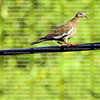 white winged dove standing on an electric line