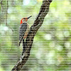 Profile of the male red bellied woodpecker showing hairs on his chin.