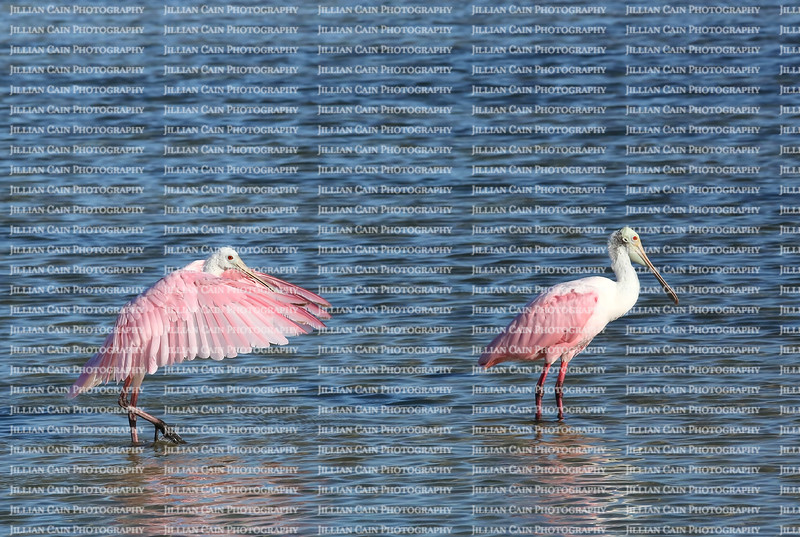 Two roseate spoonbills standing in fresh water, one with dramatic pink feathers outstretched and one with resting feathers.