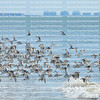Sanderlings take flight and cause a murmuration.