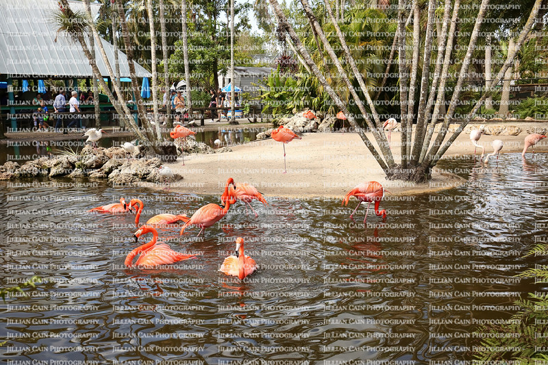 American and Greater Flamingos bathing and having a good time at the local watering hole at Flamingo Gardens Wildlife Sanctuary .