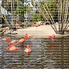 American and Greater Flamingos bathing and having a good time at the local watering hole at Flamingo Gardens Wildlife Sanctuary