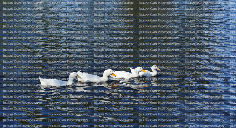 Four white American Pekin ducks paddling down a lake in a straight line.