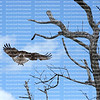 Back view of an osprey spreading its wings as it takes flight from a dead tree on the beach.