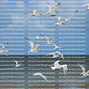 Royal terns and Sandwich terns take flight on Fort Myers Beach shoreline.