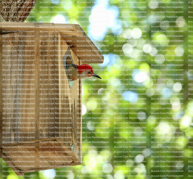Male red bellied woodpecker looks out from his roosting box that he shares with his mate, high up in a live oak tree.