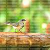 Female American Redstart, a medium sized warbler, perched to take a drink from a birdbath.