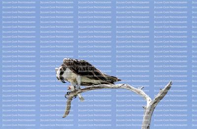 osprey eating dinner on a dead tree branch