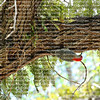 Red-bellied woodpecker looks for food on a southern live oak tree covered in resurrection fern.