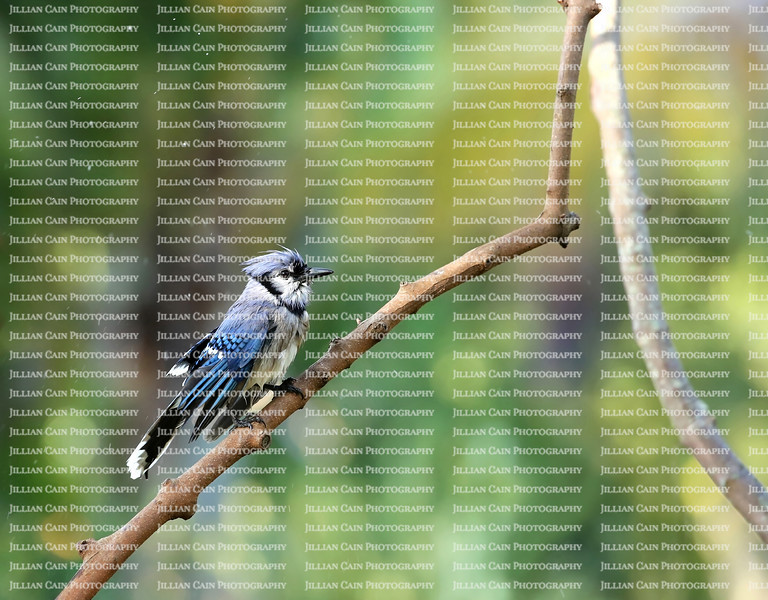 Beautiful bluejay bird shaking and drying it's wings after a bath