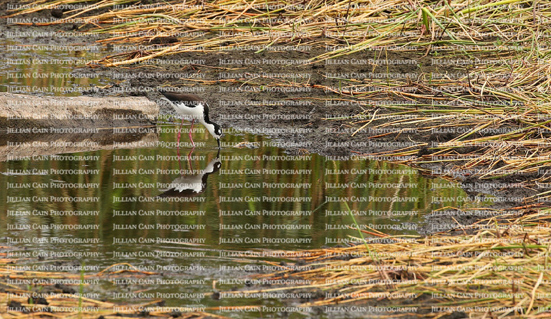 Black winged stilt wading in the waters of the Wakodahatchee Wetlands Park in Delray Beach, Florida.