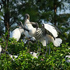 A clatter of woodstorks flapping their beautiful wings at Wakodahatchee Wetlands in Delray Beach, Florida, USA.
