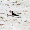 Mother skimmer bird and young chick in Fort Myers Beach.
