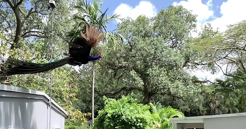 Jillian Cain Photography - Peacock flying from roof to roof in Fort Lauderdale, Florida.