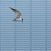 Least Tern flying fast and looking straight down into the Gulf of Mexico looks for small fish to feed it's young.