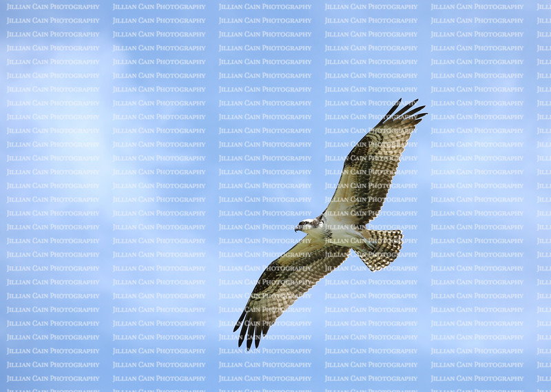 Osprey gliding directly overhead