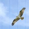 Osprey gliding directly overhead