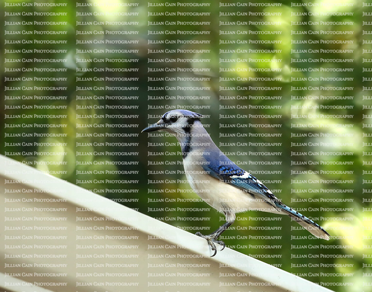 Majestic blue jay perched on a white metal gutter