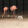 Baby boy flamingo walks around under the watchful eyes of its parents at Flamingo Gardens in Davie, Florida, USA.