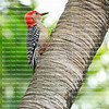 Male Red Bellied Woodpecker resting on palm tree trunk.