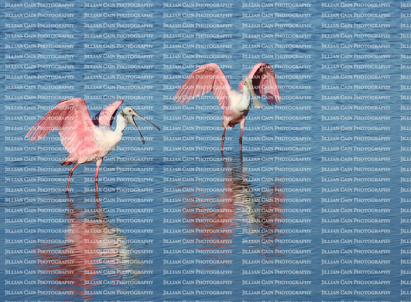 Two Roseate Spoonbills spreading their wings after a fresh water bath, one with an open spoonbill and one with a closed spoonbill.