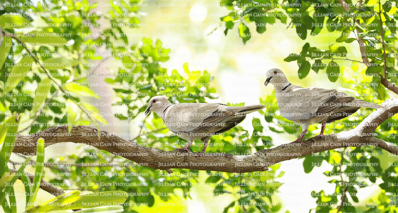A pair of neck doves  perched on a tree branch in a tropical backyard garden.