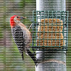 Red Bellied Woodpecker at the suet feeder gathering suet to bring back to it's baby chick in the nesting box.