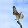 With wings out stretched a perched Osprey gets ready to fly