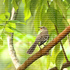Singing northern mocking bird