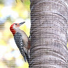 Close up of a red bellied woodpecker perched vertically on the trunk of a palm tree.