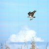 Osprey with a large catfish in its claws flies high up above the clouds.