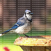 Blue jay perched on the edge of a birdbath returns for a second dip in the bath. The blue jay is native to North America and is one of the loudest and most colorful birds in back yards.
